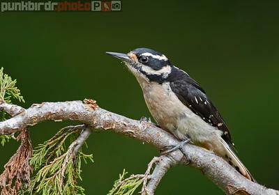 Hairy Woodpecker female (Picoides villosus)