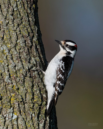 Downy Woodpecker, Standing Bear Lake, NE, USA, May 2018-2
