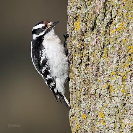 Downy Woodpecker, Standing Bear Lake, NE, USA, May 2018-1