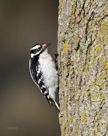 Downy Woodpecker, Standing Bear Lake, NE, USA, May 2018-1a