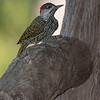 Golden-tailed Woodpecker, Mashatu GR, Botswana, May 2017-1