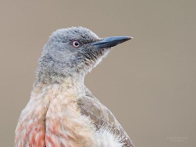 Ground Woodpecker, Goldengate NP, FS, SA, Oct 2016-2