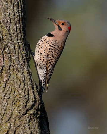 Northern Flicker (yellow-shafted), Standing Bear Lake, NE, USA, May 2018-2