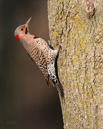 Northern Flicker (yellow-shafted), Standing Bear Lake, NE, USA, May 2018-1a