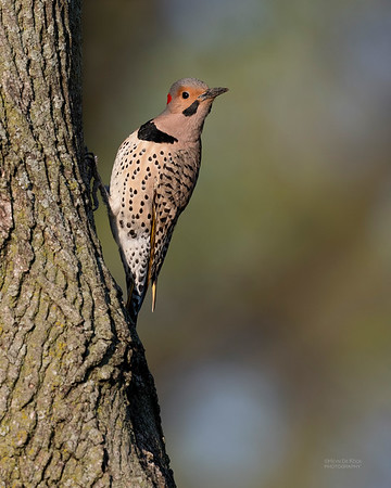 Northern Flicker (yellow-shafted), Standing Bear Lake, NE, USA, May 2018-3