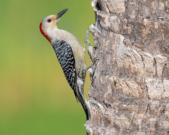 Red-bellied Woodpecker, Kissimmee Swamp, Kenansville, FL, US, May 2018-1a