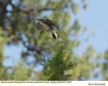 BlackBackedWoodpecker15357