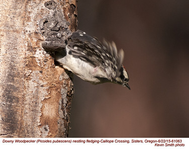 Downy Woodpecker J61063