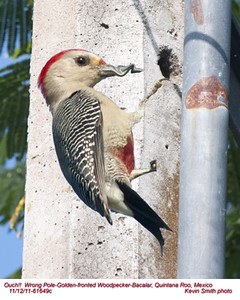 Golden-fronted Woodpecker Humerous 61649c