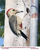 Golden-fronted Woodpecker Humerous 61649c