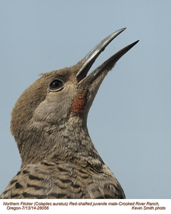 Northern Flicker Red-Shafted J28056