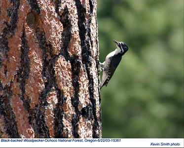 BlackBackedWoodpecker15361