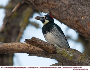 AcornWoodpeckerF11513