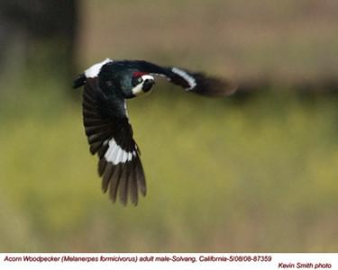 AcornWoodpeckerM87359