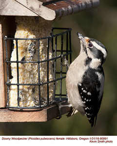 Downy Woodpecker F80991