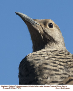 Northern Flicker Red-shafted F27578