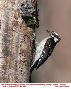 Downy Woodpeckers M&N61191
