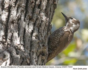 ArizonaWoodpeckerF73505