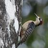 Black-cheeked Woodpecker F86243