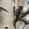 Red-naped Sapsucker M70826