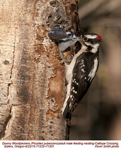 Downy Woodpeckers M&N71232c