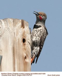 Northern Flicker Red-Shafted M67727