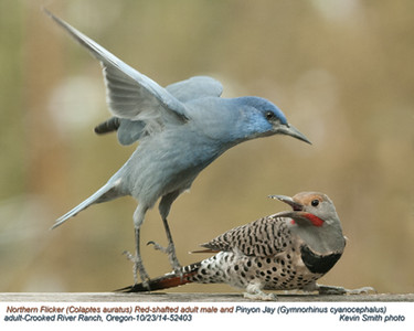 Northern Flicker Red-Shafted M&Pinyon Jay A52403