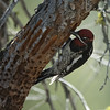 Red-naped Sapsucker M24665