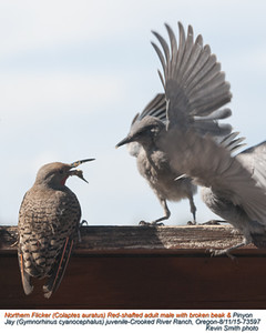 Northern Flicker M & Pinyon Jay J73597