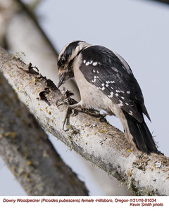 Downy Woodpecker F81034