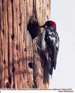 AcornWoodpecker30477