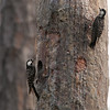 Red-cockaded Woodpeckers A60047b