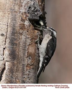 Downy Woodpeckers F&N61164