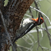 Red-naped Sapsucker M24663