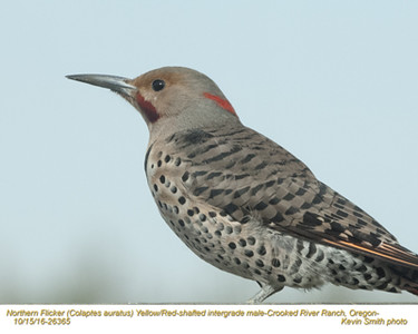 Northern Flicker Red-Yellow Intergrade M26365
