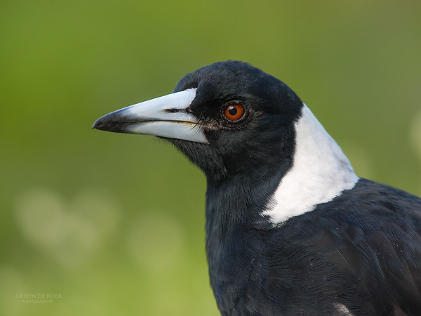 Australian Magpie, Worongary, QLD, March 2016-4