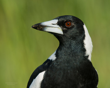 Australian Magpie, Worongary, QLD, March 2016-1