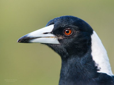 Australian Magpie, Worongary, QLD, March 2016-3