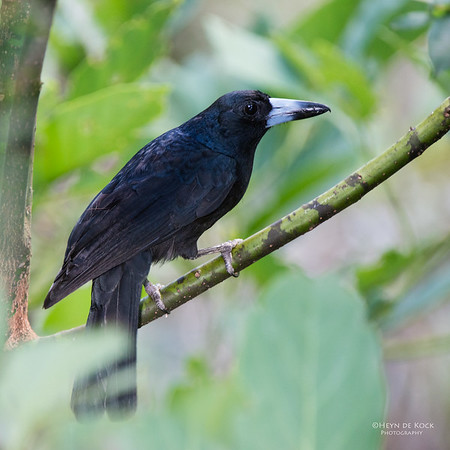 Black Butcherbird, Kuranda, QLD, Dec 2014