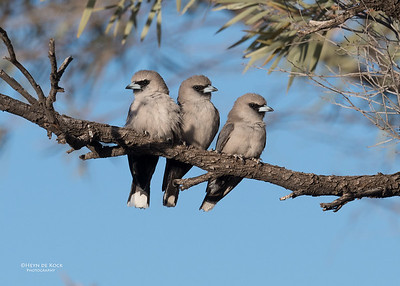 Black-faced Woodswallow, Bowra, Cunnamulla, QLD, Aus, Sept 2017-3