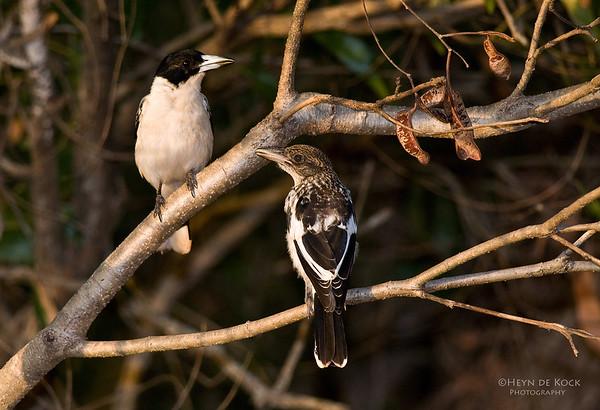 Black-backed Butcherbirds, Musgrave, Qld, Aus, Dec 2009