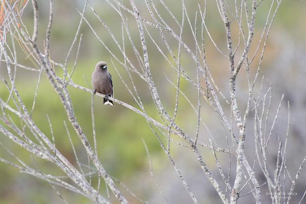 Dusky Woodswallow, Jervis Bay, NSW, May 2015