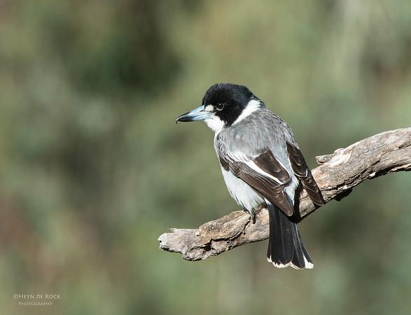 Grey Butcherbird, Hattah-Kulkyne NP, VIC, Aus, Aug 2012