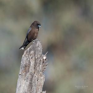 Little Woodswallow, Bowra, Cunnamulla, QLD, Aus, Sept 2017-5