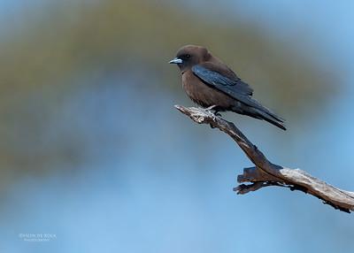 Little Woodswallow, Bowra, Cunnamulla, QLD, Aus, Sept 2017-2