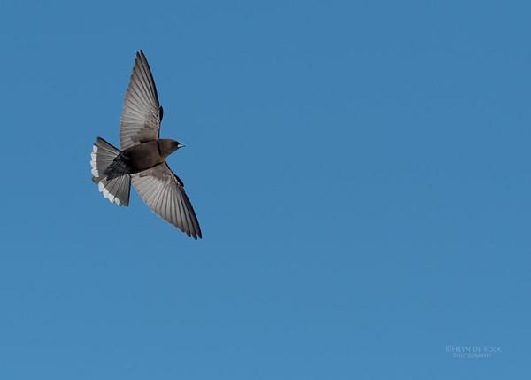 Little Woodswallow, Bowra, Cunnamulla, QLD, Aus, Sept 2017-4