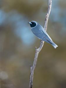 Masked Woodswallow, Gluepot, SA, Aus, Nov 2014-1
