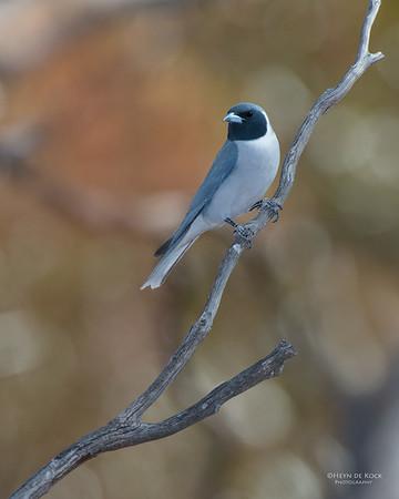 Masked Woodswallow, Gluepot, SA, Aus, Nov 2014-3