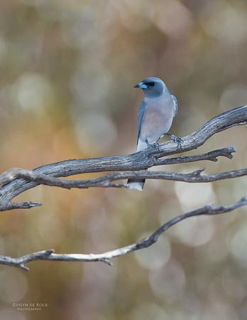 Masked Woodswallow, imm, Gluepot, SA, Aus, Nov 2014-1