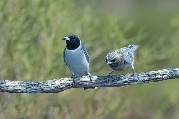 Masked Woodswallow, Gluepot, SA, Aug 2012-1